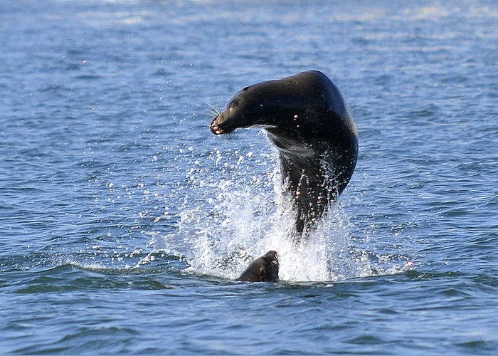 Sea Lion Greeting Card featuring the photograph Airborne by Fraida Gutovich