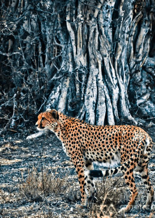 Africa Greeting Card featuring the photograph Alert Cheetah by Darcy Michaelchuk