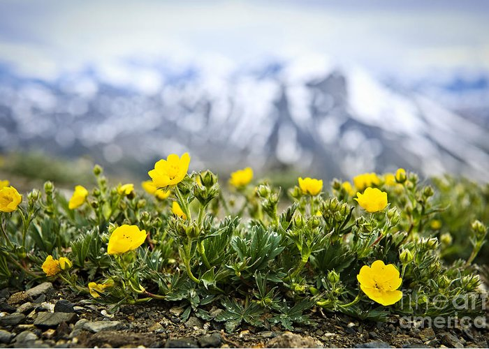 Alpine Greeting Card featuring the photograph Alpine Meadow In Jasper National Park by Elena Elisseeva