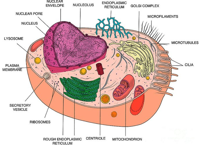 Simple Animal Cell Diagram With Microfilaments Diy Enthusiasts