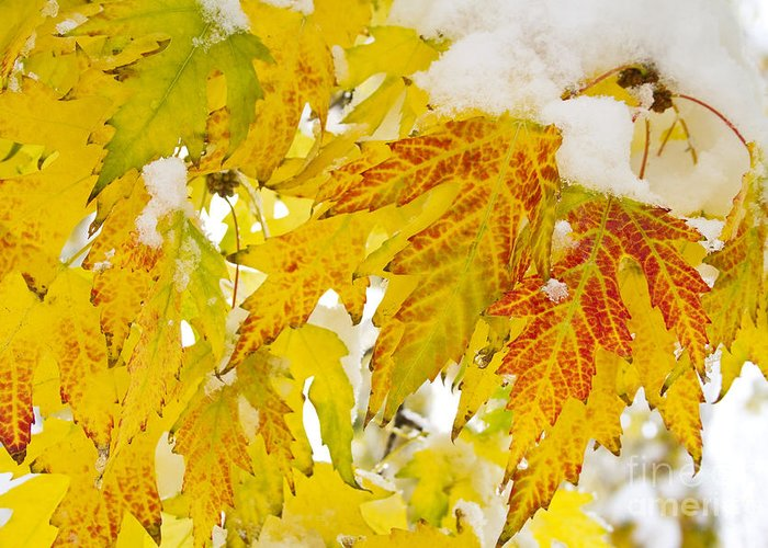 Snow Greeting Card featuring the photograph Autumn Snow by James BO Insogna