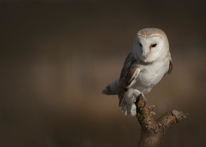 Barn Owl Greeting Card featuring the photograph Barn Owl by Andy Astbury