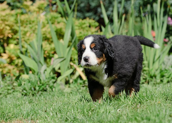 Berner Greeting Card featuring the photograph Bernese Mountain Dog Puppy Portrait by Waldek Dabrowski