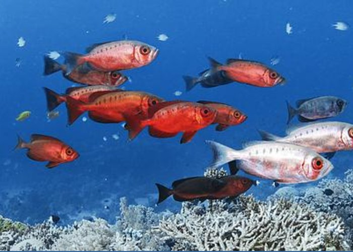 Priacanthus Greeting Card featuring the photograph Bigeye Fish by Alexander Semenov