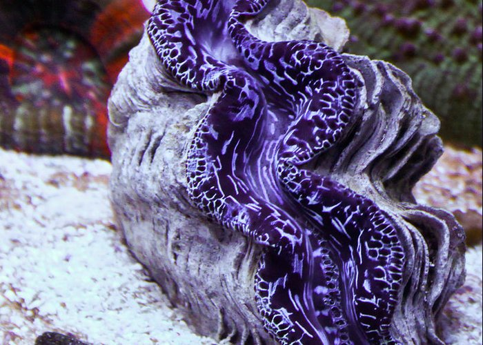 Saltwater Greeting Card featuring the photograph Blue Metallic Maxima Clam by Erik Hovind