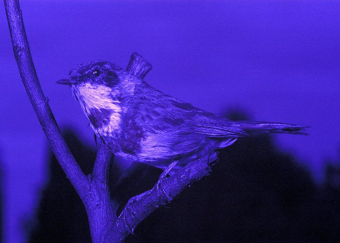 Luscinia Svecica Greeting Card featuring the photograph Bluethroat by Volker Steger