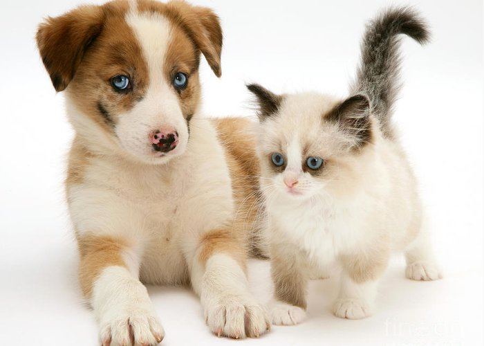 Domestic Greeting Card featuring the photograph Border Collie And Birman-cross Kitten by Jane Burton