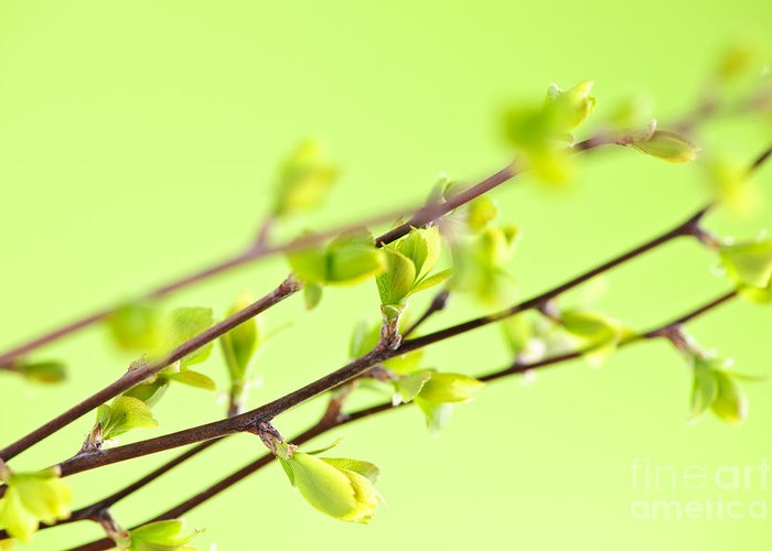 Spring Greeting Card featuring the photograph Branches With Green Spring Leaves by Elena Elisseeva