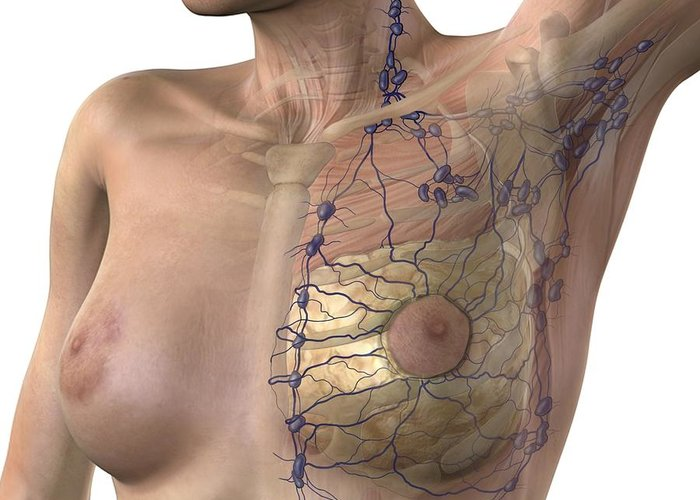 Breast Greeting Card featuring the photograph Breast Lymphatic System, Artwork by D & L Graphics