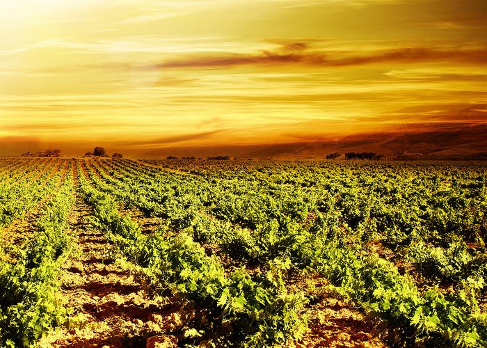 Agricultural Greeting Card featuring the photograph Bright Sunset At Vineyard by Anna Om