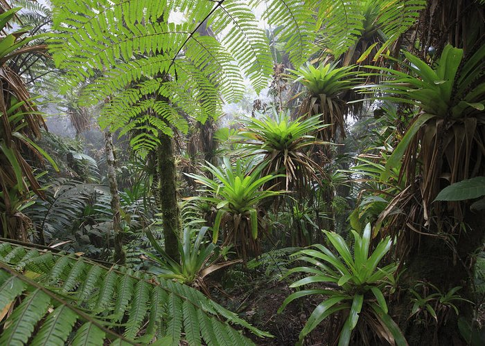 Mp Greeting Card featuring the photograph Bromeliad Bromeliaceae And Tree Fern by Cyril Ruoso