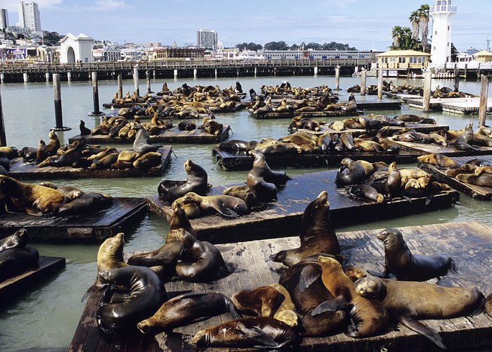 Zalophus Californianus Greeting Card featuring the photograph California Sea Lions by Alan Sirulnikoff
