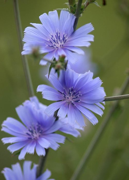 Wildflower Greeting Card featuring the photograph Chicory by Rick Rauzi