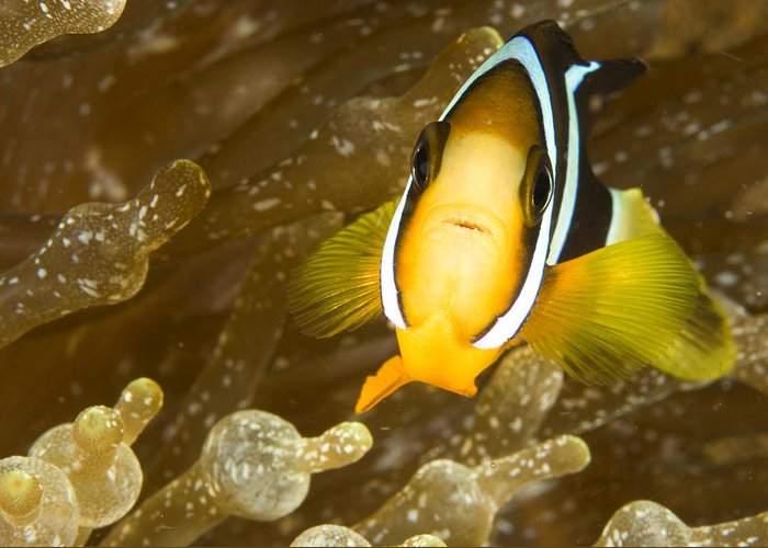 Clarks Anemonefish Greeting Cards