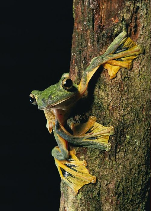Borneo Island Greeting Card featuring the photograph Close View Of A Wallaces Flying Frog by Tim Laman