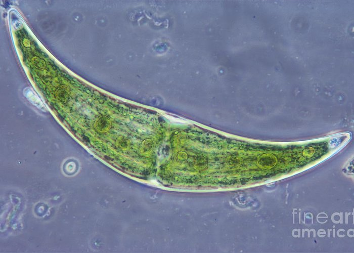 Science Greeting Card featuring the photograph Closterium Sp. Algae Lm by M. I. Walker