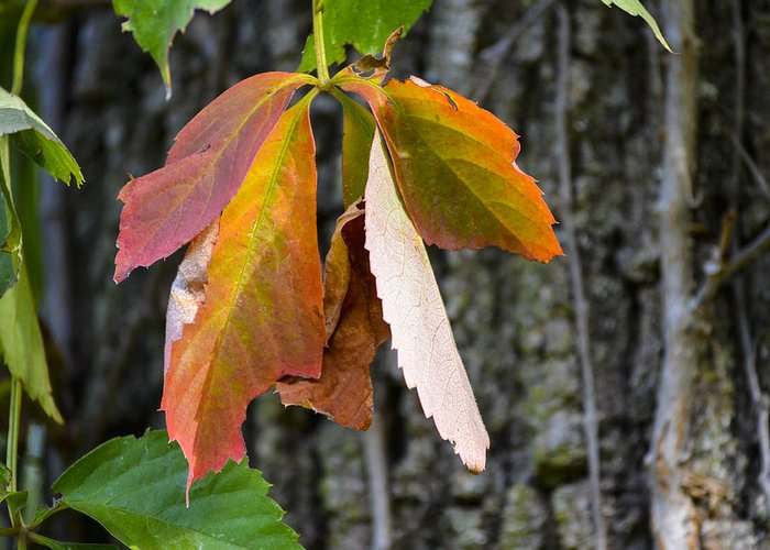 Leaves Greeting Card featuring the photograph Colors Of Fall by Julie Palencia