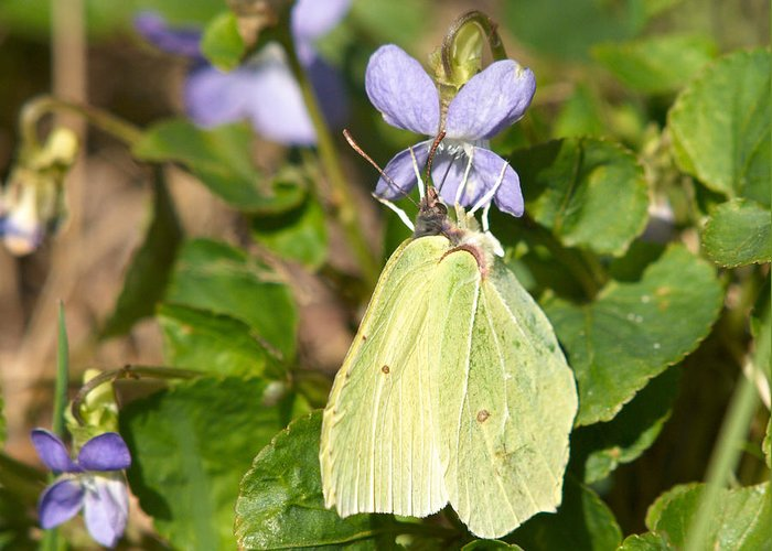 Common Brimstone. Sitruunaperhonen Greeting Card featuring the photograph Common Brimstone by Jouko Lehto