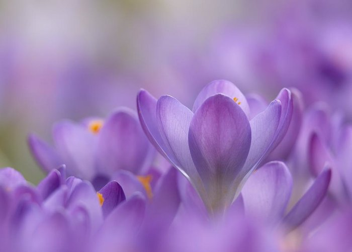 Biological Greeting Card featuring the photograph Crocus Tommasinianus Flowers by Adrian Bicker
