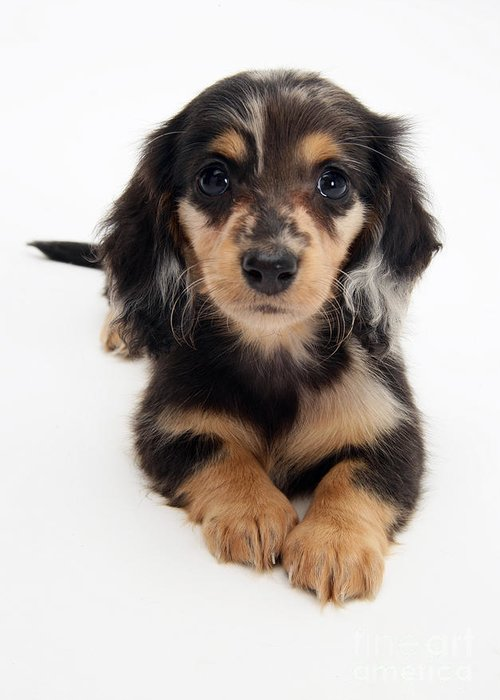 Animal Greeting Card featuring the photograph Dachshund Pup by Jane Burton