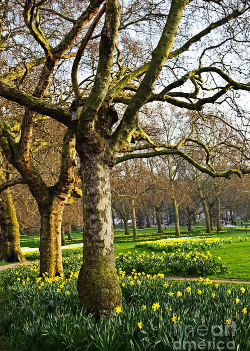 Daffodils Greeting Card featuring the photograph Daffodils In St. James's Park by Elena Elisseeva