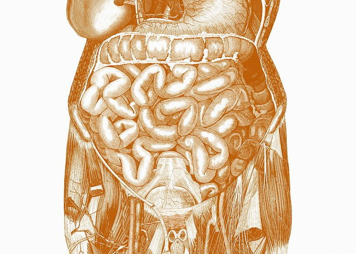 Organ Greeting Card featuring the photograph Digestive System by Mehau Kulyk