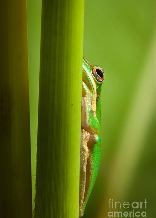 Frog Greeting Card featuring the photograph Dwarf Tree Frog by Johan Larson