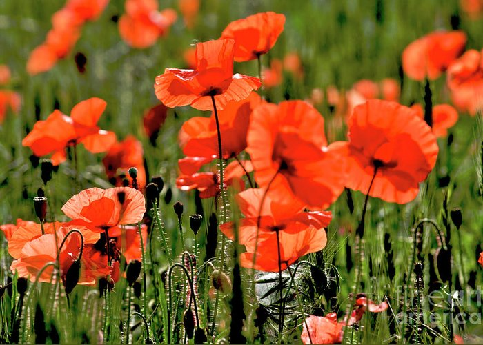 Outdoors Greeting Card featuring the photograph Field Of Poppies. by Bernard Jaubert