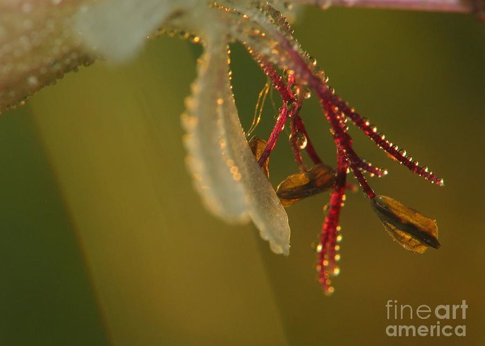 Nature Greeting Card featuring the photograph Flower And Drops by Odon Czintos