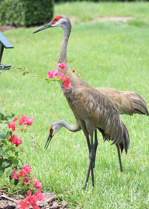 Sandhill Crane Greeting Card featuring the photograph Garden Visitors by Carol Groenen