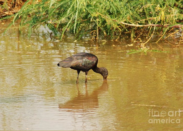 Glossy Ibis Greeting Card featuring the photograph Glossy Ibis by Kathy Gibbons