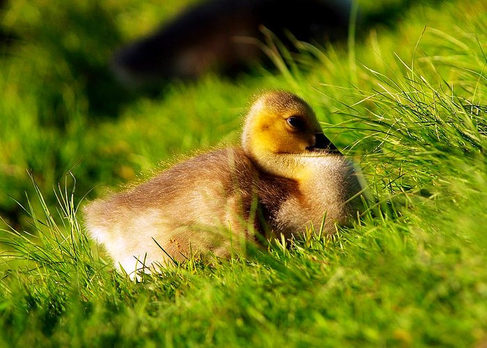 Animal Avian Baby Bird Birds Canada Children Geese Goose Gosling Little Migrate Migratory Nature New Pond Spring Water Wild Wildlife Wildness Young Small Little Art Close Close-up Macro Lovely Art Action Freeze Capture Food Looking Look Search Greeting Card featuring the photograph Gosling In Spring by Paul Ge