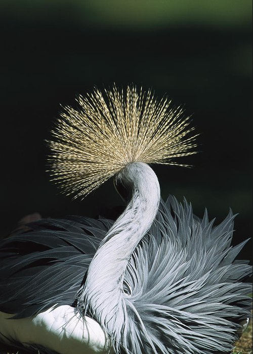 Mp Greeting Card featuring the photograph Grey Crowned Crane Balearica Regulorum by Konrad Wothe
