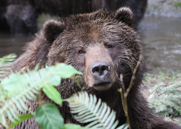 Northwest Trek Greeting Card featuring the photograph Grizzley - 0011 by S and S Photo