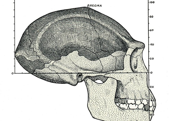 Java Man Greeting Card featuring the photograph Homo Erectus Skull by Sheila Terry