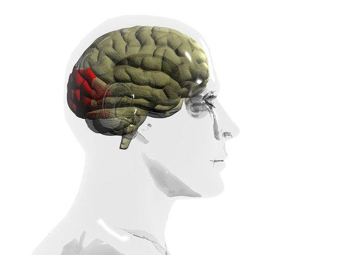 Human Body Greeting Card featuring the photograph Human Brain, Occipital Lobe by Christian Darkin
