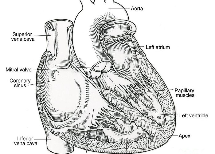 Anatomy Greeting Card featuring the photograph Illustration Of Heart Anatomy by Science Source