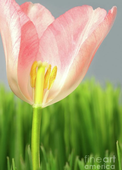April Greeting Card featuring the photograph Inside Of A Pink Tulip by Sandra Cunningham
