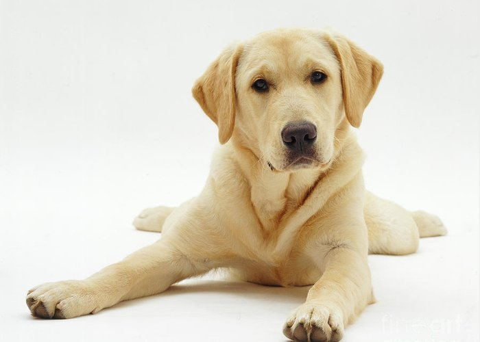 Studio Greeting Card featuring the photograph Labrador X Golden Retriever Puppy by Jane Burton