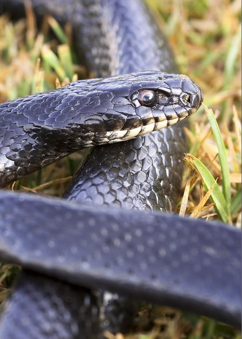 Animal Greeting Card featuring the photograph Large Whipsnake (coluber Jugularis) by Photostock-israel