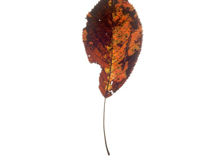 Studio Greeting Card featuring the photograph Leaf In Autumnal Colours by Bernard Jaubert