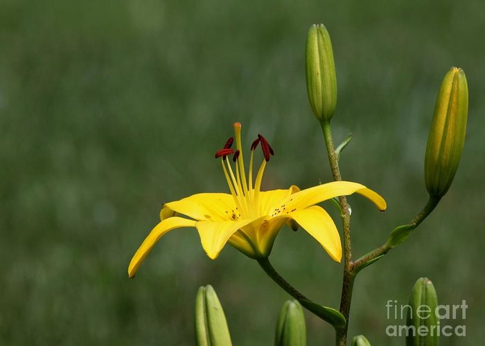 Nature Greeting Card featuring the photograph Lily Flowers by Jack R Brock