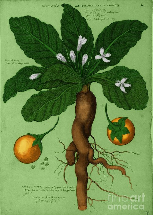 Mandrake Root Alchemy Plant Greeting Card For Sale By Science Source