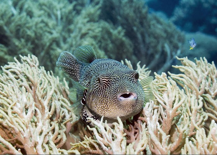Arothron Mappa Greeting Card featuring the photograph Map Pufferfish by Georgette Douwma