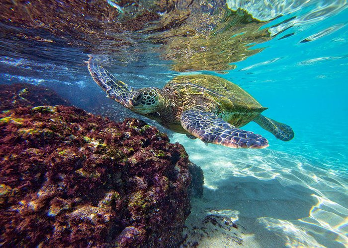 Greeting Card featuring the photograph Maui Turtle by James Roemmling