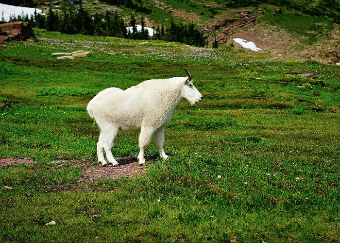 Glacier National Park Greeting Card featuring the photograph Mountain Goat by Greg Norrell