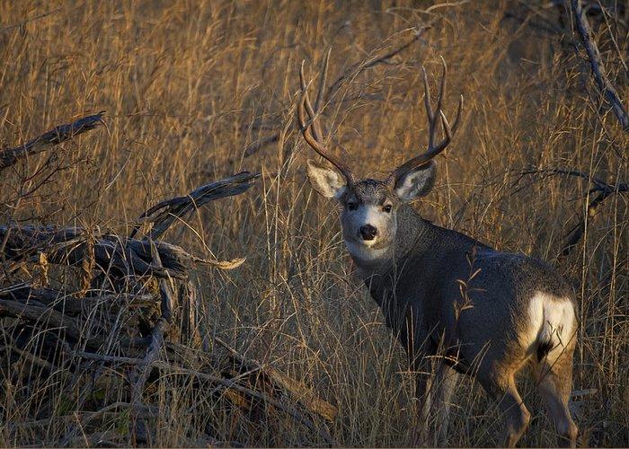 Big Mule Deer Greeting Card featuring the photograph Mule Deer Buck by Tim Bjerk