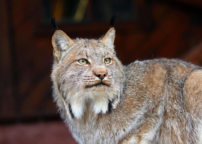 Alert Greeting Card featuring the photograph North American Lynx by Paul Fell