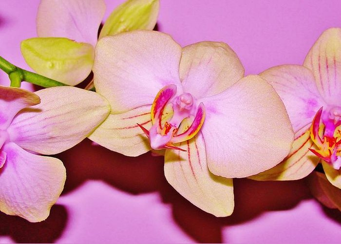 Orchid Greeting Card featuring the photograph Orchid Love by Marie-france Quesnel