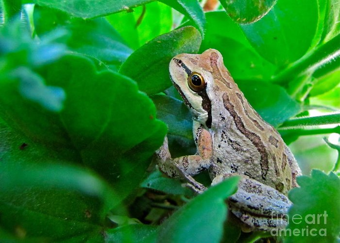 Nature Greeting Card featuring the photograph Pacific Tree Frog by Sean Griffin